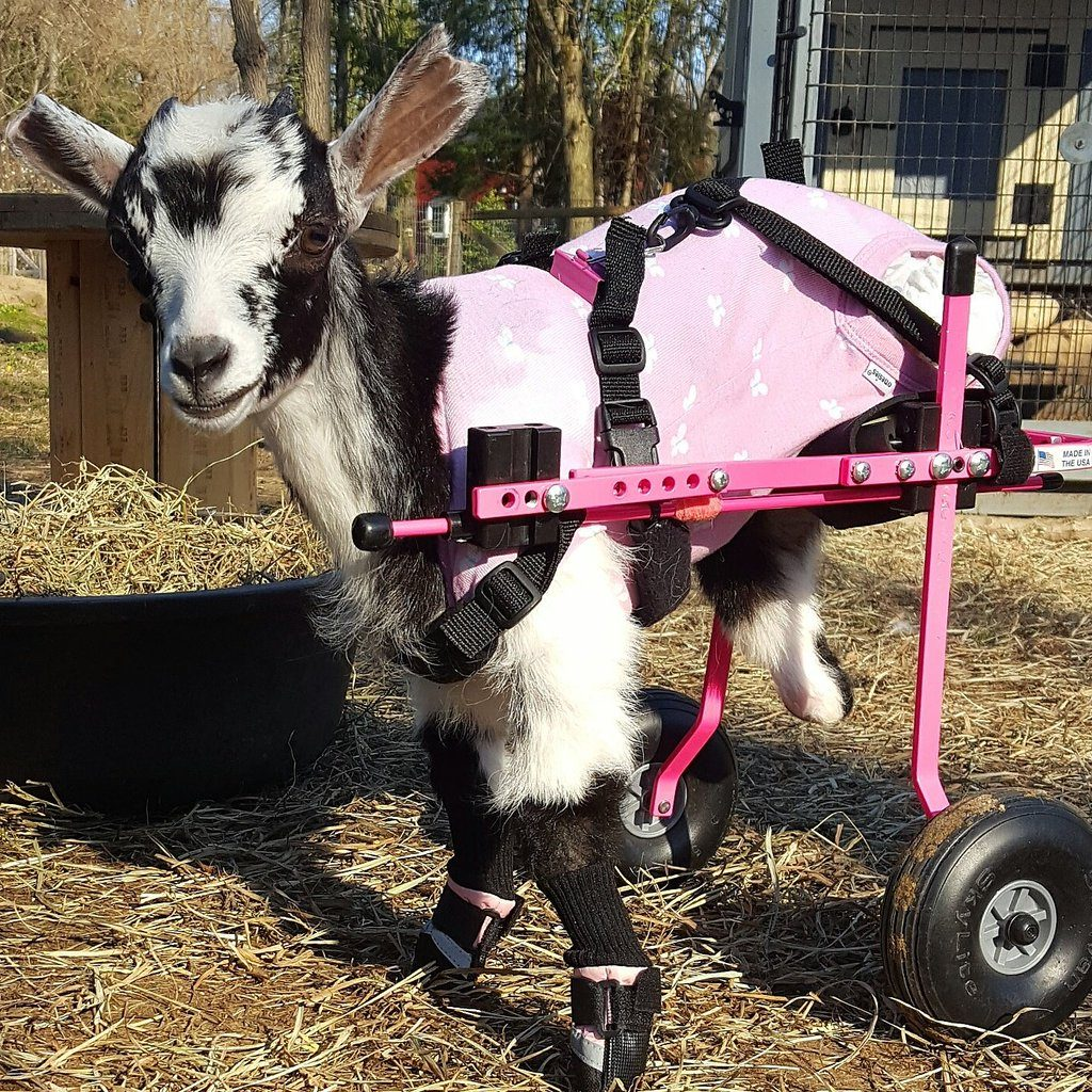 Rescue Goats - Source: Twitter/Goats of Anarchy