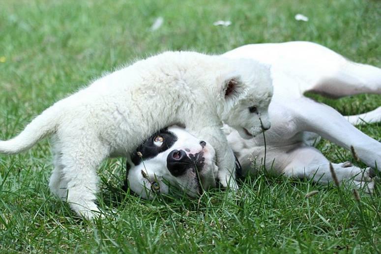 dog adopts lion cub