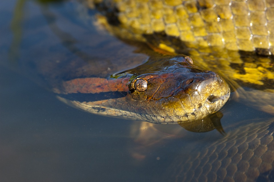 Anacondas spend most of their life in the water - Source: Pixabay