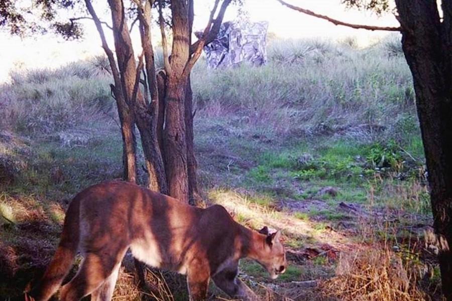 mountain lion kansas