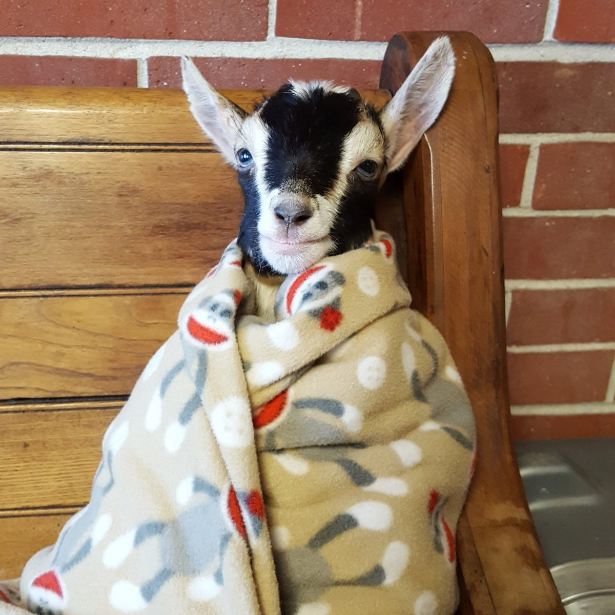 Polly in a Blanket - Source: Twitter/Goats of Anarchy