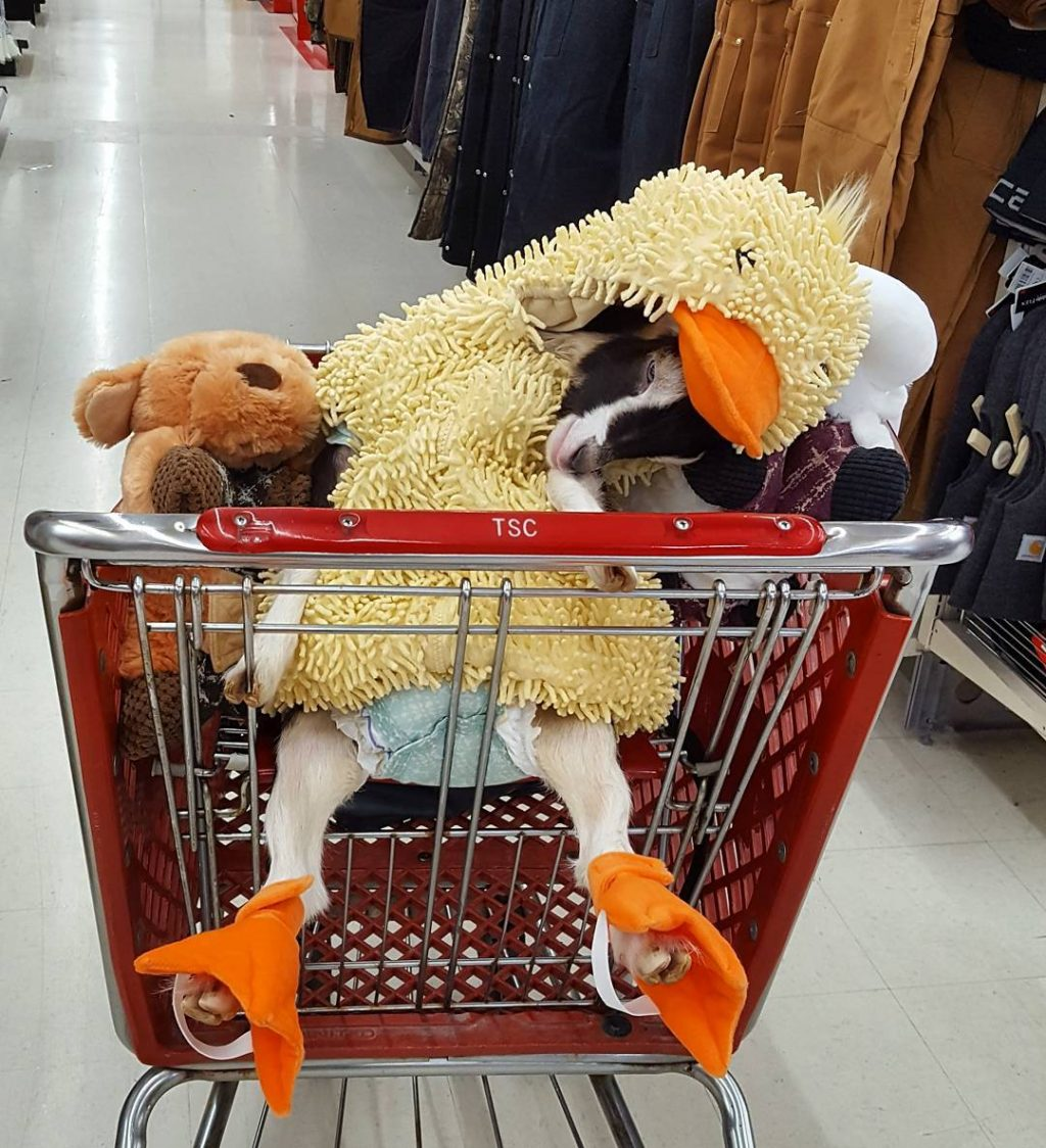 Polly in a Shopping Cart - Source: Twitter/Goats of Anarchy